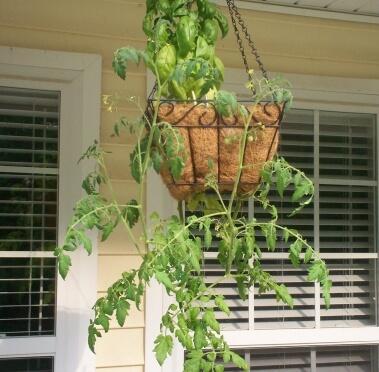 kims-tomato-plant