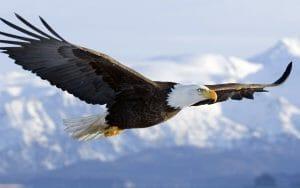 bald-eagle-wallpapers-flight
